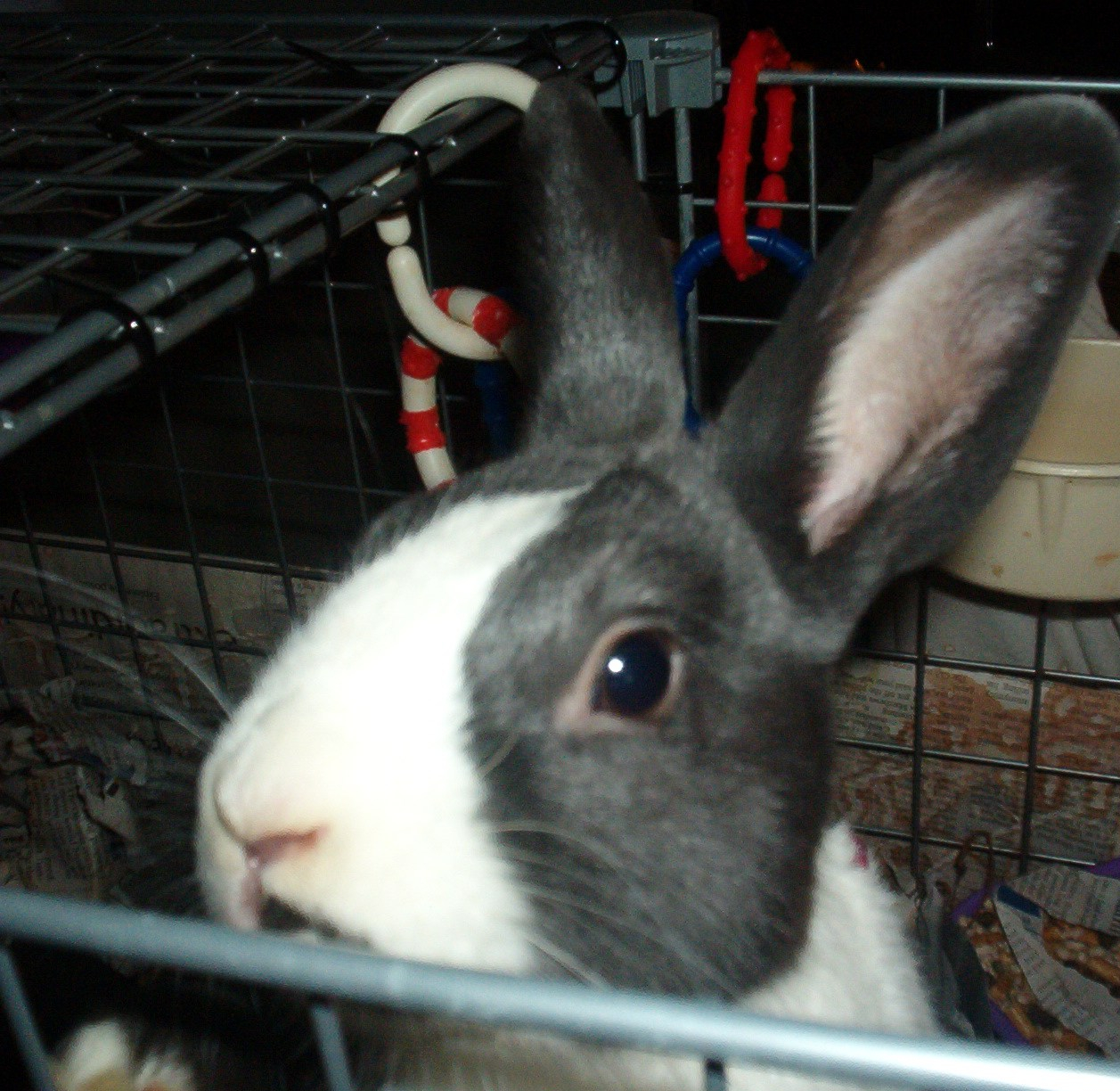 the head of a small rabbit with a white nose and black ears looking up out of a cage